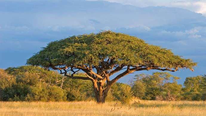 Acacia Tree (Acacia species) on a savanna in Zimbabwe.  © EcoView/stock.adobe.com